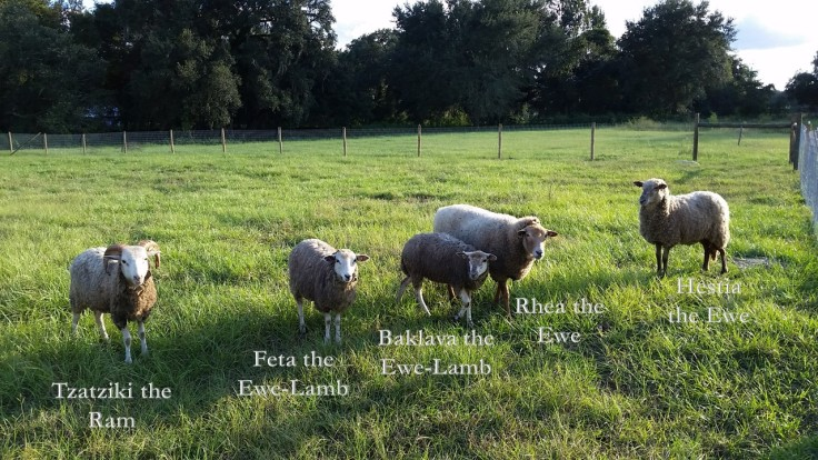 The Naming of the Sheep.jpg